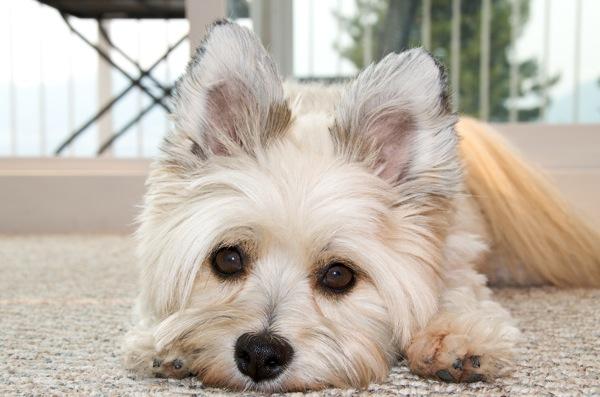 室内で小型犬を飼う際に用意するサークルとケージはどんなのがいいのだろうか?
